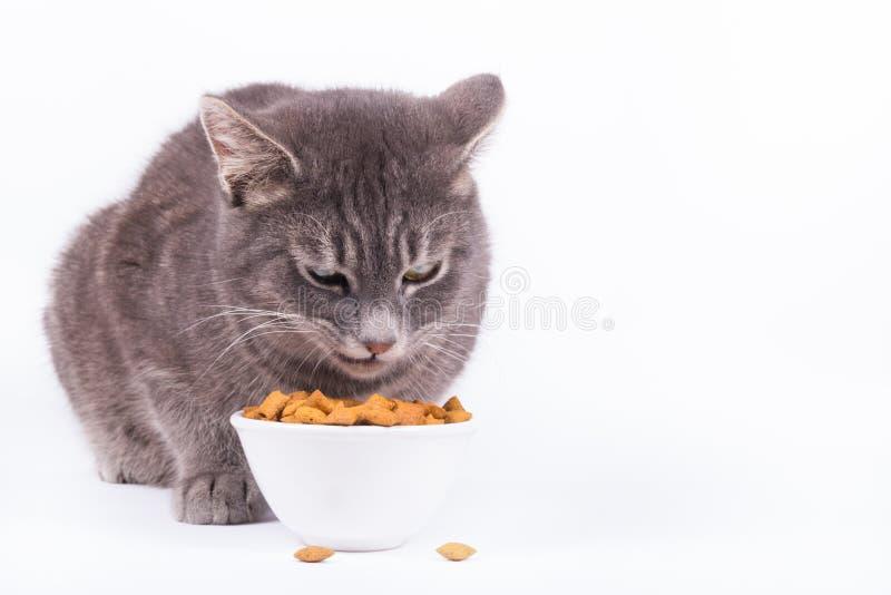 Szara kota łasowania karma Okropny szary kot Gniewny kota łasowanie od pucharu zdjęcia royalty free