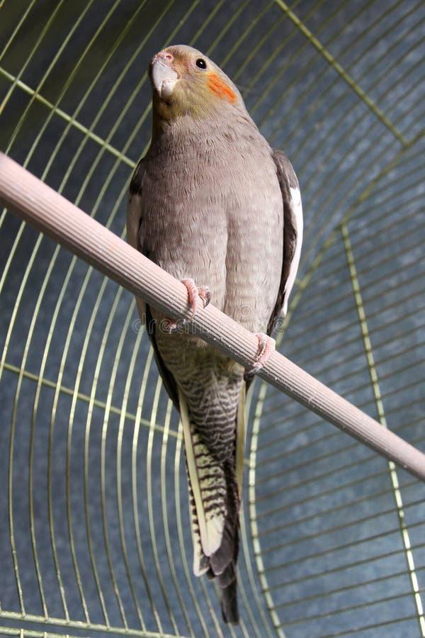 Szara papuga w klatce. fotografia royalty free