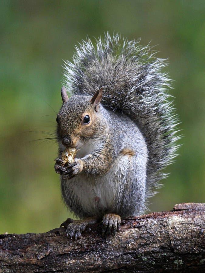 szara wiewiórka