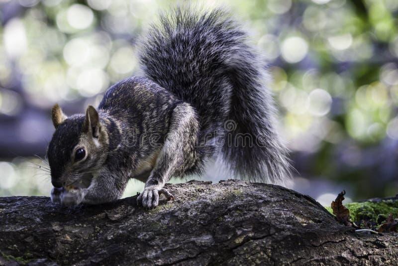 Szare wiewiórcze zbierackie dokrętki na ampule rozgałęziają się zdjęcie royalty free