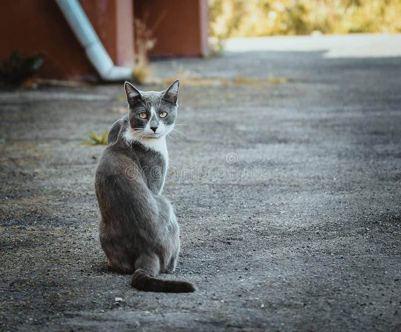 Szarego bielu kota obsiadanie na bruku Bezdomny smutny smutny osamotniony przyb??kany kot na tle asfalt patrze? obraz royalty free
