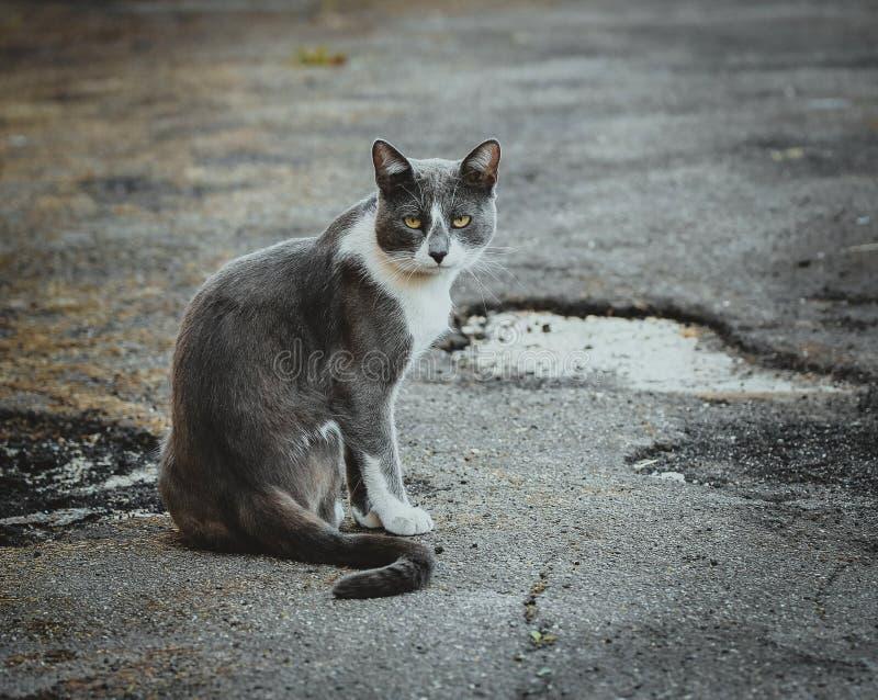 Szarego bielu kota obsiadanie na bruku Bezdomny smutny smutny osamotniony przyb??kany kot na tle asfalt patrze? obrazy stock