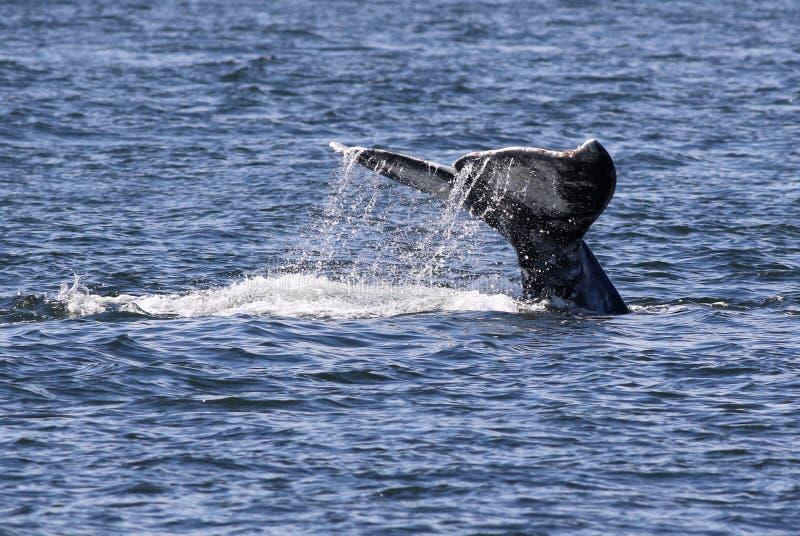 Szarego wieloryba fuks z Wodny Wlec zdjęcie stock