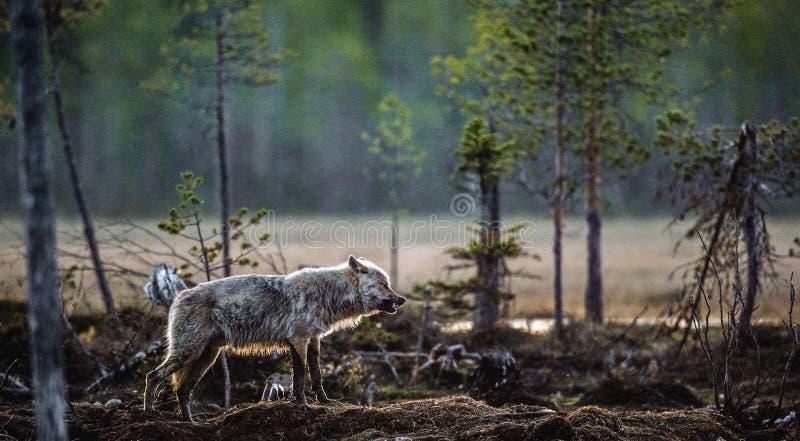 Szarego wilka Canis lupus obrazy stock