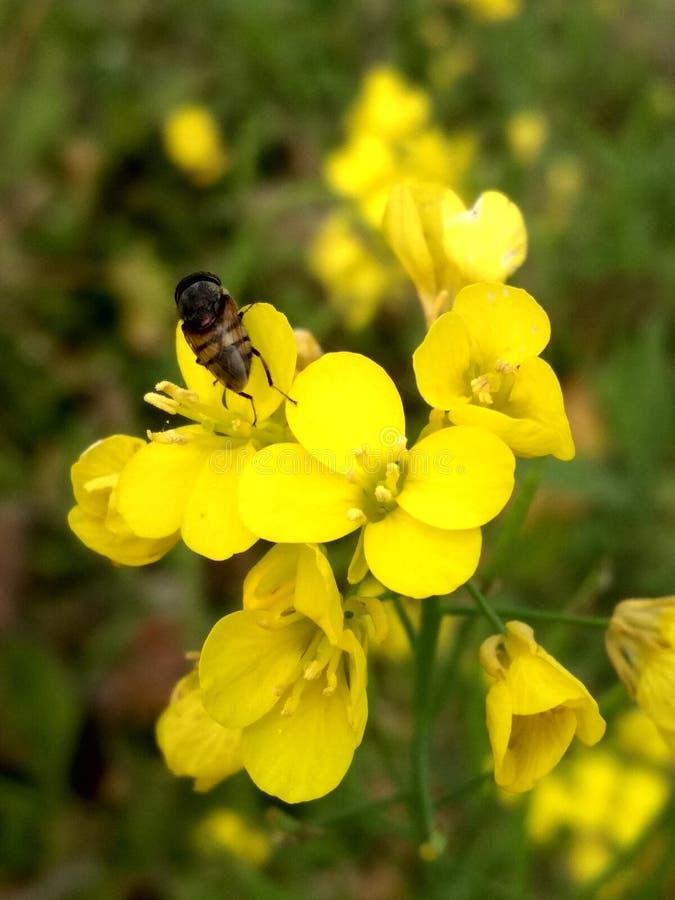 Szariat nabrzmiewać pszczoły obraz stock