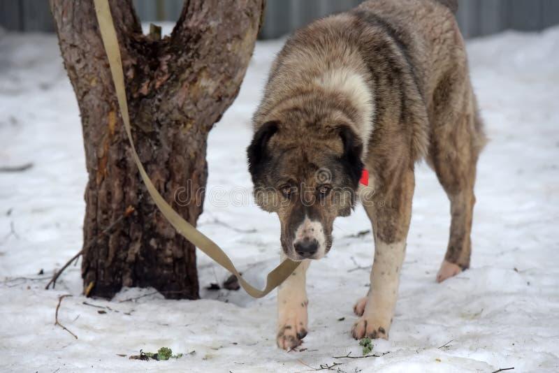 Szarość z białym Środkowym Azjatyckim Pasterskim psem, osiem lat obraz stock
