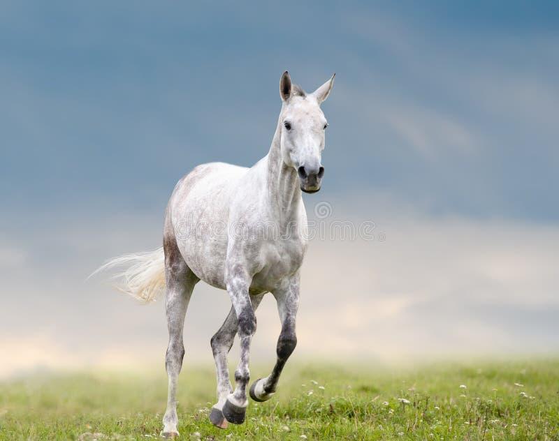 Szarość dapple końskich bieg na wolności fotografia royalty free