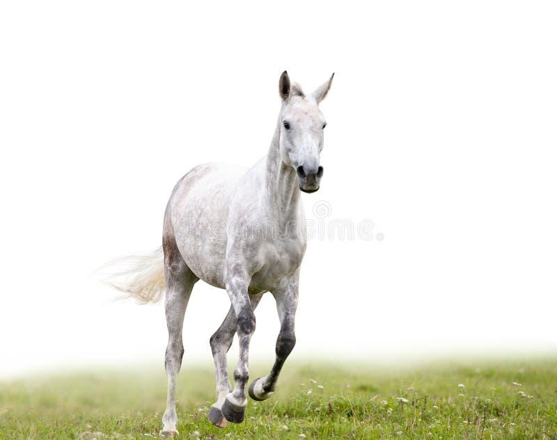 Szarość dapple końskich bieg odizolowywających obraz stock