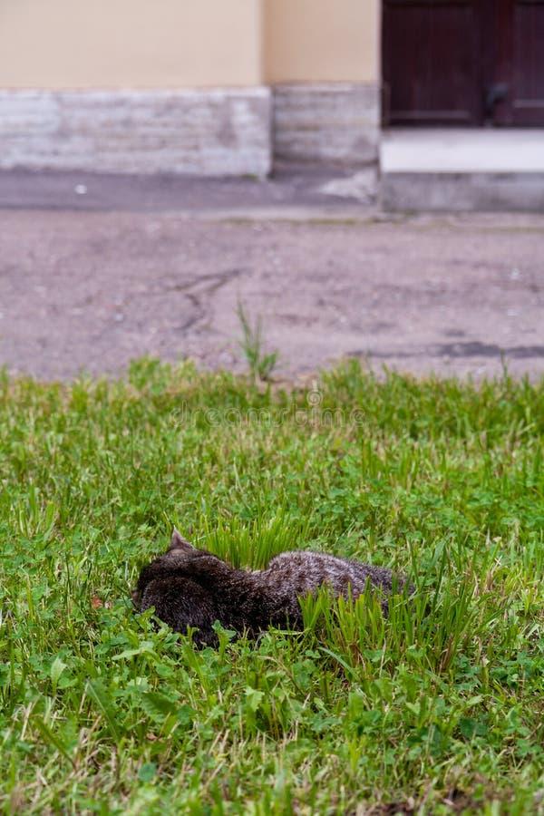 Szarość kota pasiasty drzemanie w trawie fotografia stock
