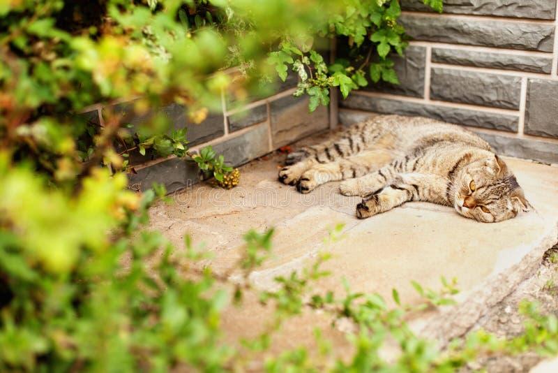 Szarość stwarzają ognisko domowe egzotycznego shorthair tabby kota lying on the beach w ogródzie obraz royalty free