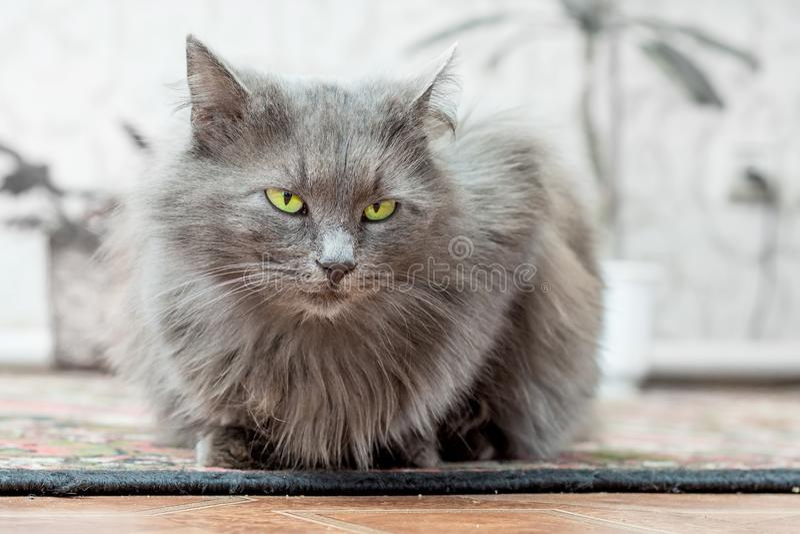 Szarość, zarodowy kot z zielonymi oczami siedzi w room_ fotografia stock