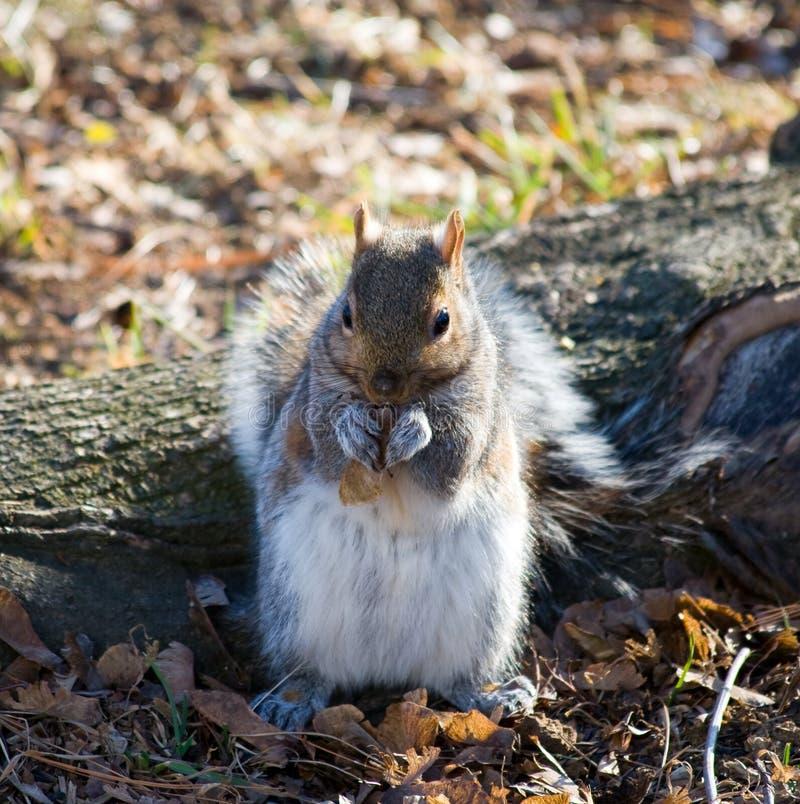 szarości wiewiórka zdjęcia stock