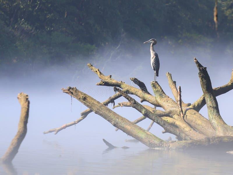 Szarości wodny czapli ptasi obsiadanie na spadać drzewie w rzece obraz royalty free
