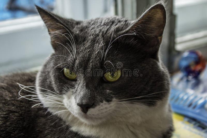 Szarobiały kot patrzeje w obiektyw obrazy royalty free