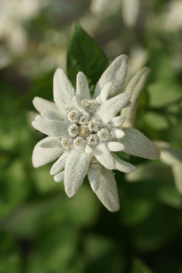 szarotka kwiat obrazy stock