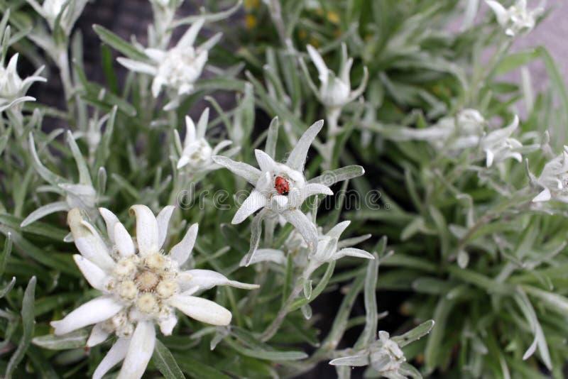 Szarotka kwiat Leontopodium nivale, powszechnie nazwana szarotka jest halnym kwiatem należy stokrotki lub słonecznika rodzina A zdjęcia royalty free