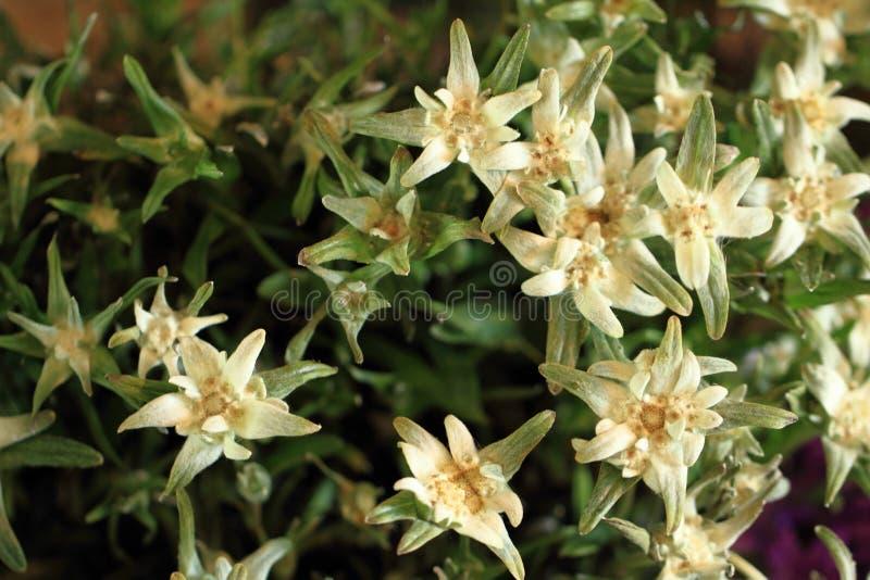 Szarotki alp kwiat obrazy stock
