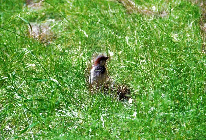 Szary brown wróbel w wysokiej zielonej trawie obrazy stock