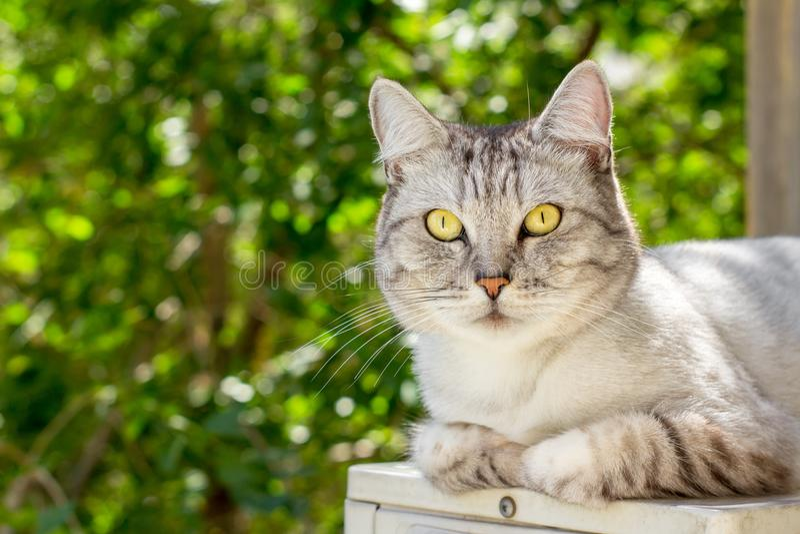 Szary brytyjski kota lying on the beach na zieleń ogródzie zamazywał tło zdjęcia royalty free
