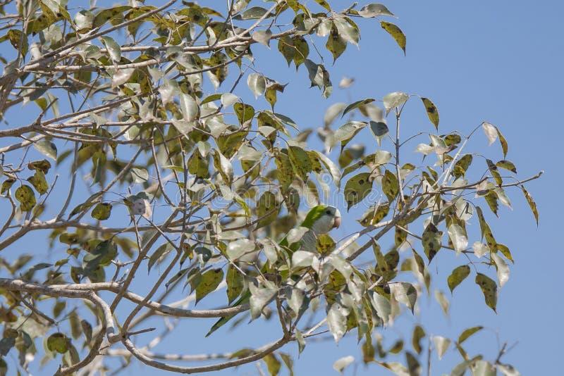 Szary Cheeked Parakeet Camouflaged w drzewie obrazy stock