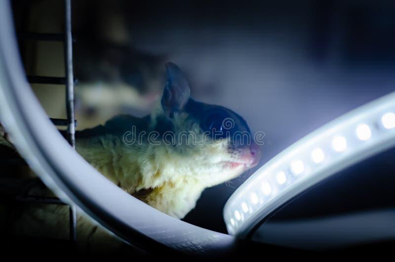 Szary cukrowy szybowiec Petaurus breviceps nadrzewny szybowniczy possum Egzotyczni zwierzęta w ludzkim środowisku obrazy stock