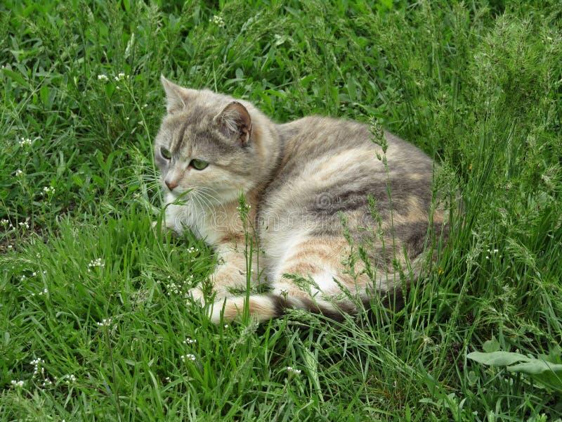 Szary domowy kot w trawie zdjęcie royalty free