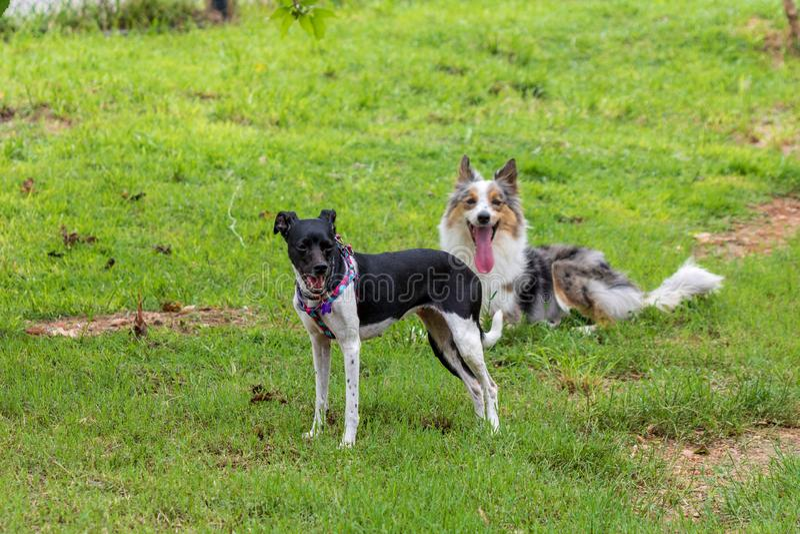 Szary i biały terier bawić się na zielonej trawie Border collie i braziliam fotografia stock