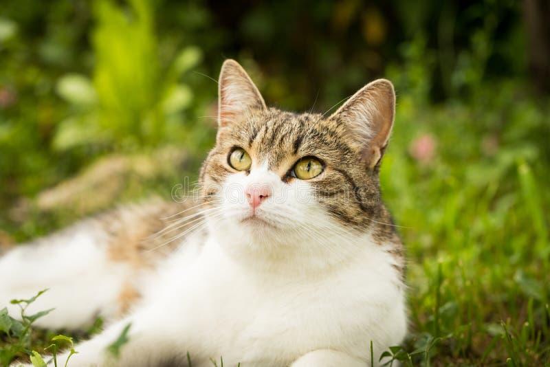 Szary I Biały kota obsiadanie W trawie W ogródzie zdjęcie royalty free