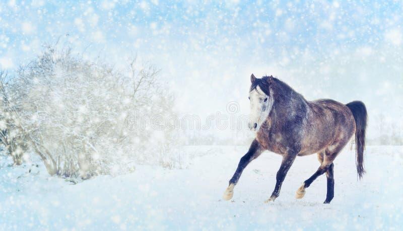 Szary koń z zima bieg futerkowym brykiem na śnieżnym natury tle sztandar obraz stock