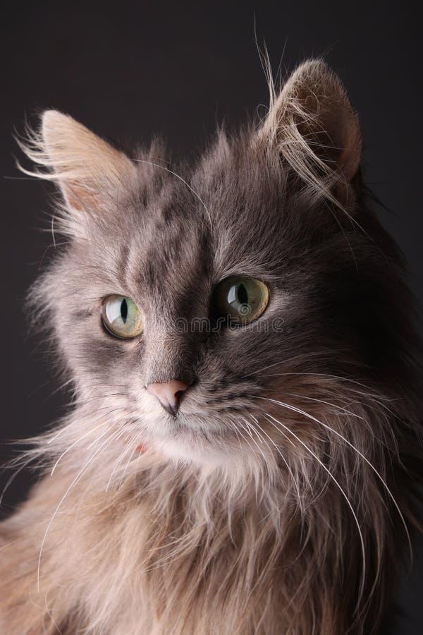 Szary kot zdjęcie royalty free