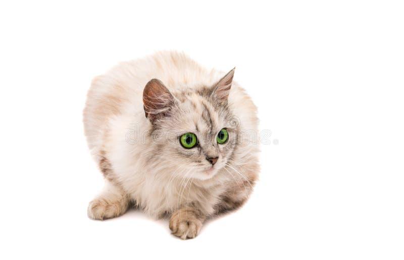 Download Szary kot zdjęcie stock. Obraz złożonej z figlarka, śliczny - 57670922