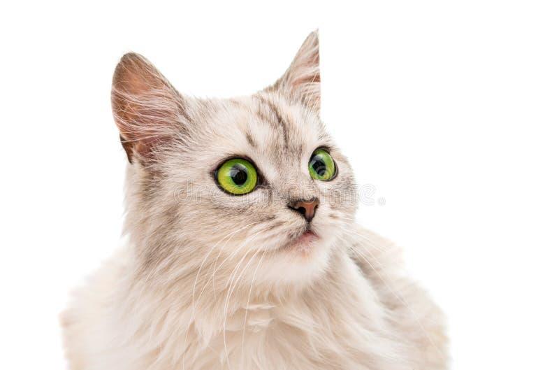 Download Szary kot obraz stock. Obraz złożonej z twarz, puszysty - 57671043