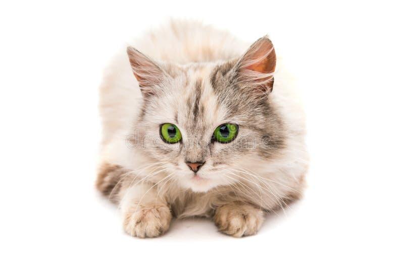 Download Szary kot obraz stock. Obraz złożonej z futerko, traken - 57671127