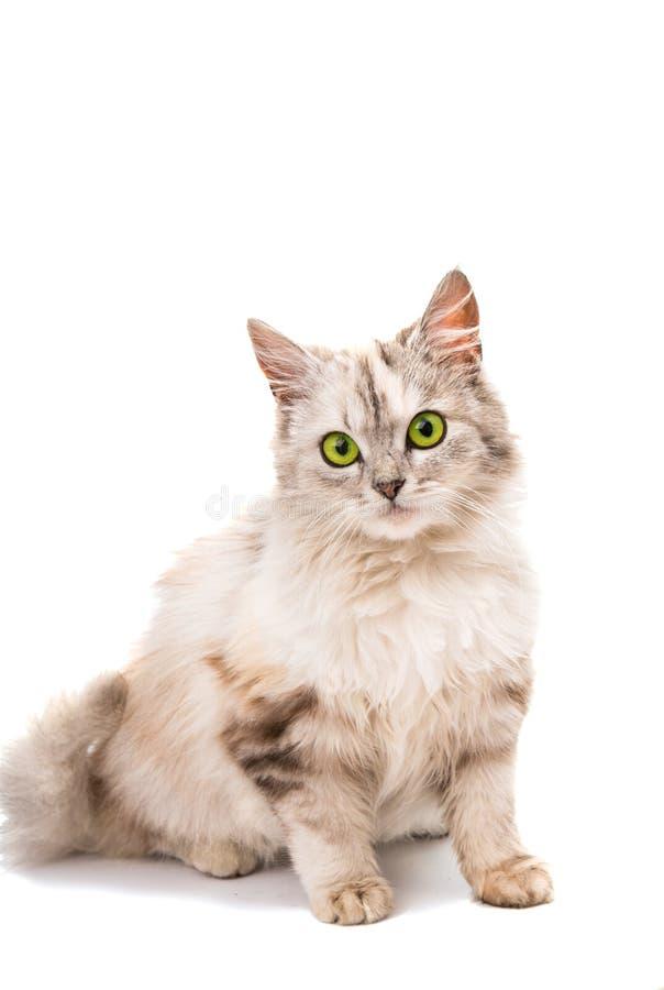 Download Szary kot obraz stock. Obraz złożonej z domowy, folował - 57671291