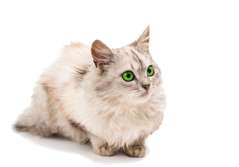 Download Szary kot obraz stock. Obraz złożonej z życzliwy, salowy - 57671407