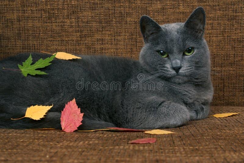 Szary kot odpoczywa na leżance zakrywającej w jesień liściach fotografia stock