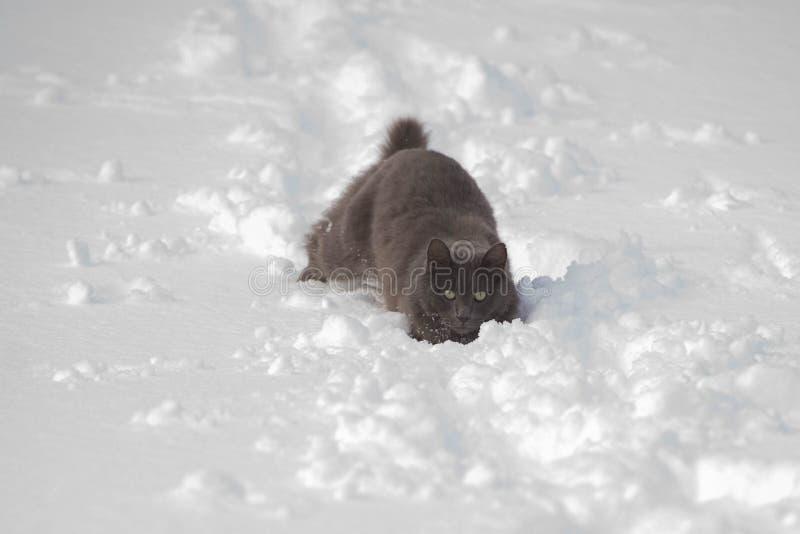 Szary kot wtykający w śniegu fotografia royalty free