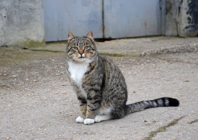 Szary kot z białą piersią siedzi na ulicie zdjęcia royalty free