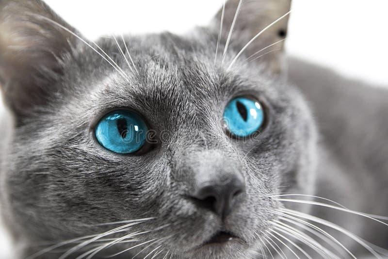 Szary kot z pięknymi niebieskimi oczami biały tło odizolowywający zdjęcia stock