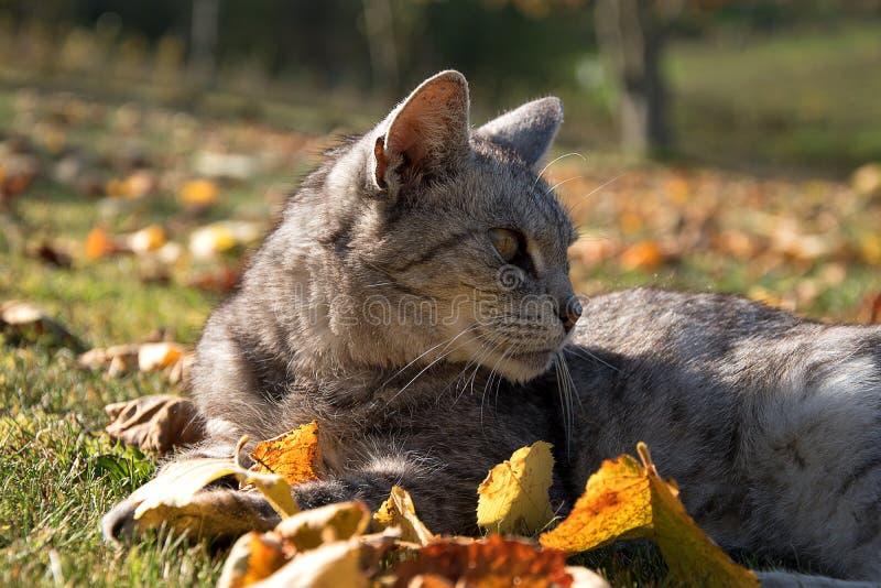 Szary kota lying on the beach w liściach w ogródzie Spadać liście w jesieni obraz stock