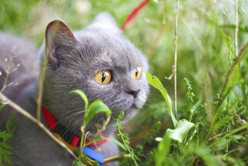 Szary kota odprowadzenie na zielonej trawie obraz royalty free