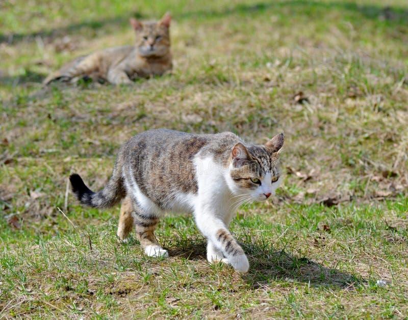 Szary kota spacer na gazonie pojęcie wiosna zdjęcie royalty free