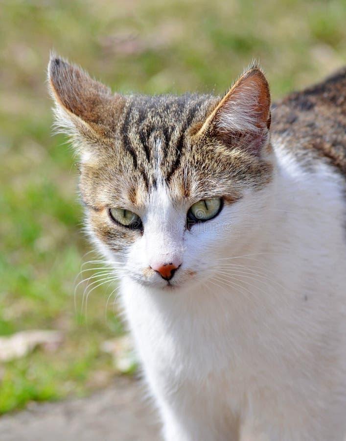 Szary kota spacer na gazonie pojęcie wiosna obraz royalty free
