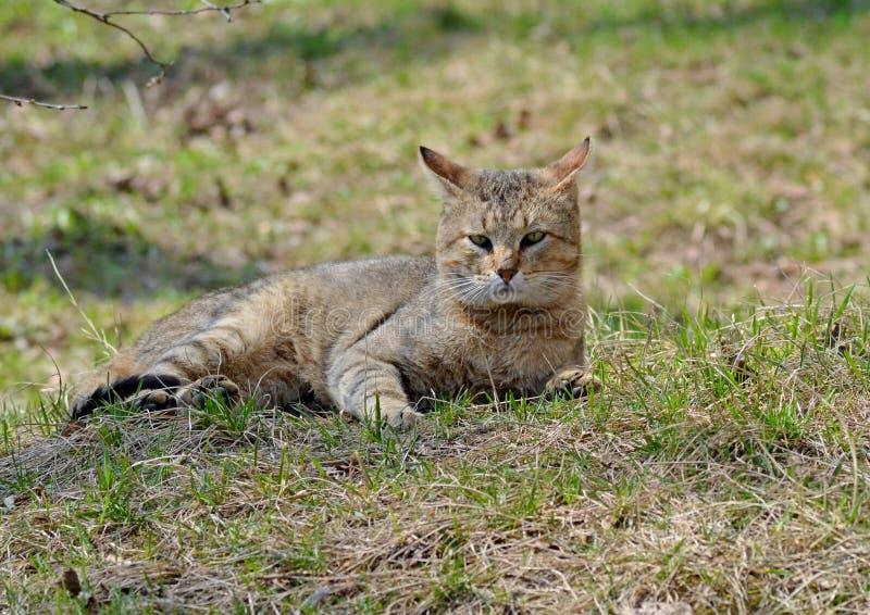 Szary kota spacer na gazonie pojęcie wiosna zdjęcia royalty free