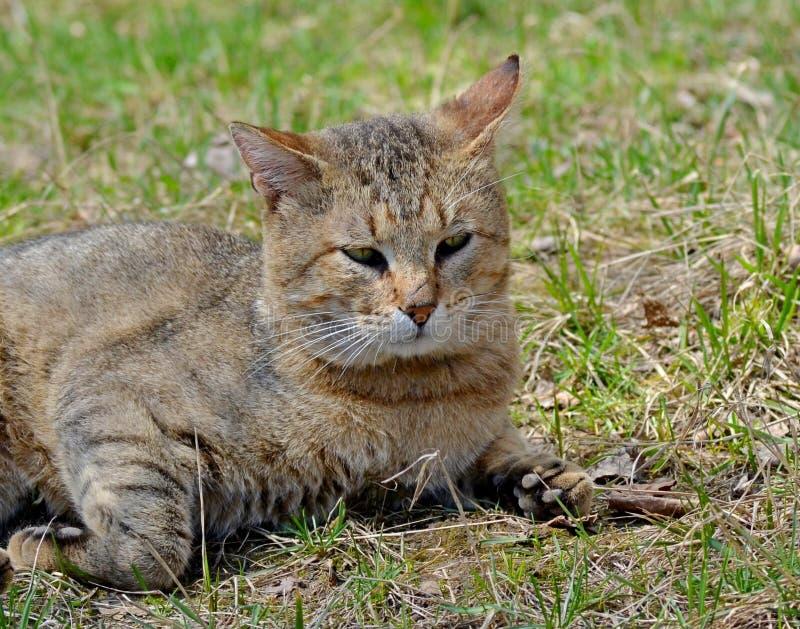 Szary kota spacer na gazonie pojęcie wiosna fotografia stock