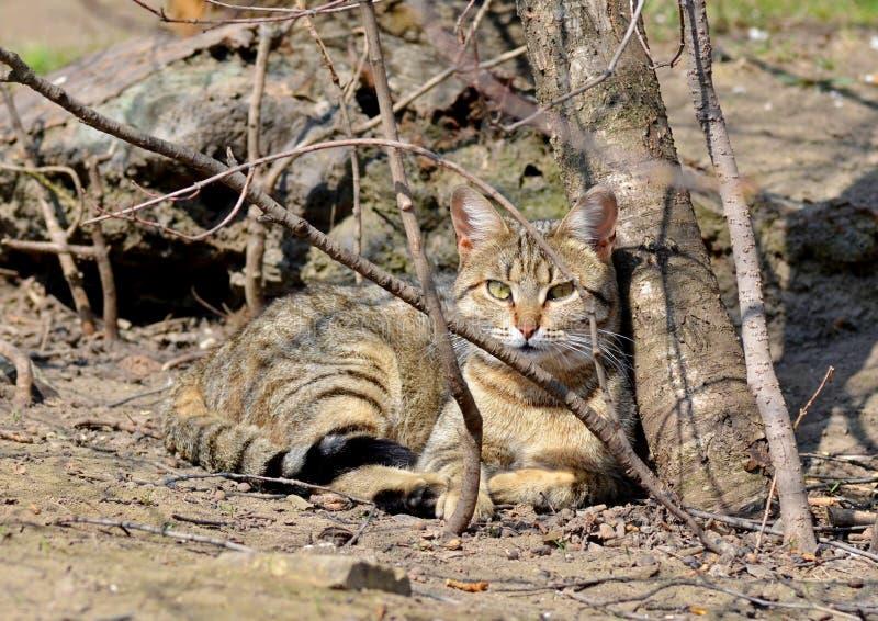 Szary kota spacer na gazonie pojęcie wiosna zdjęcie stock