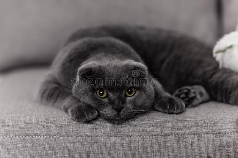 Szary kota traken Brytyjczyk Mały Brytyjczyk kot pets obraz stock