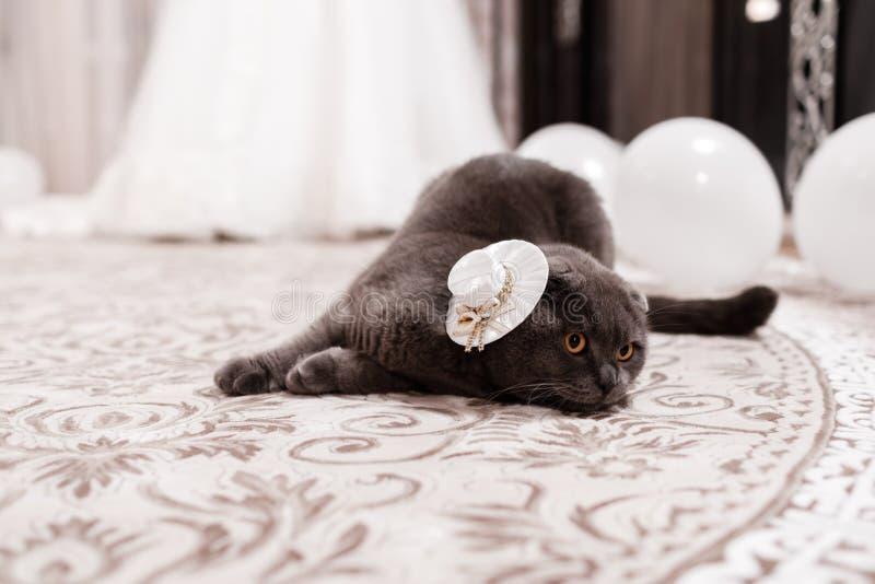 Szary kota traken Brytyjczyk Ma?y Brytyjczyk kot pets fotografia stock