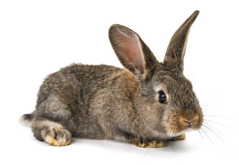 Szary królik odizolowywający zdjęcie royalty free