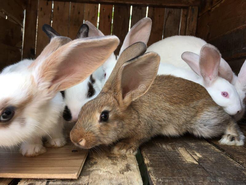 Szary królik przed białymi ones zdjęcie stock